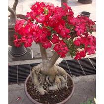 Muda Rosa Do Deserto Adenium 12 Anos 60 A 90cm Cor Variadas