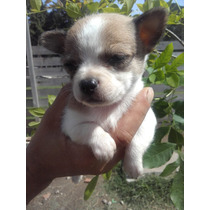Hermosos Cachorros Chihuahua Mini Mini Machos