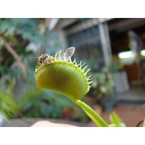 Venus Atrapamoscas-10 Semillas+ Manual /plantas Carnivoras