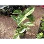 Planta Aucuba Japonica Especial Para Interior
