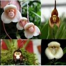 Sementes Lindas Orquídeas Rara Cara De Macaco - 10 Sementes