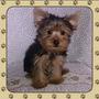 Cachorro Yorkshire Terrier Macho Pequeño Con Pedigree