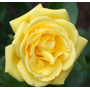 Yellow Rose (10 Semillas)