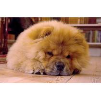 Lindos Filhotes De Chow Chow, Só Com A Pet Store
