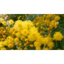 Semillas De Acacia Baileyana Mimosa Amarilla