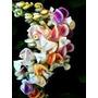5 Mudas De Vigna Caracalla-trepadeira Caracol-exótica