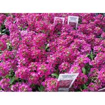 10 Sementes De Alyssum Rosa Flor De Mel Lobularia Alicinha