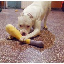 Dogo Argentino Puro Para Servicio No Tiene Papeles