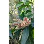 Mango E15 (plantas De 3 Años) Listas Para Dar Frutos. Envíos