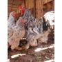 Ovos Galados Galinhas Brahma - Compre 12 Leve 15