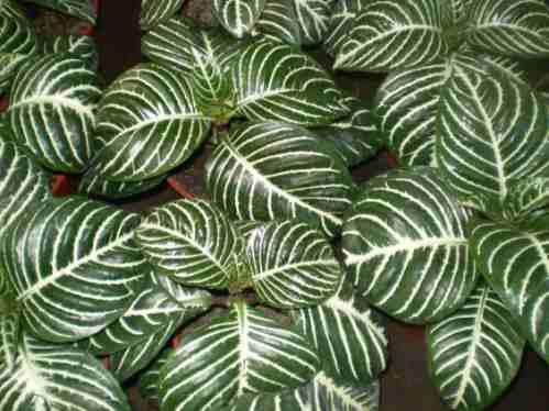 aphelandra plantas de interior exterior flores vivero