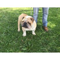 Impresionante Semental Bulldog Ingles Lo Mejor
