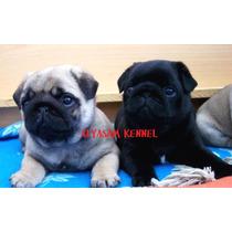 Filhotes De Pug Disponíveis Machos E Fêmeas Pretos E Abricot
