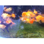 Goldfish Jovenes : Orandas, Ryukines, Calicos, Lion Heat,