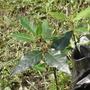 Plantines De Laurel. (aromatica)