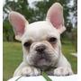 Bulldog Frances Cachorros Super Tiernos