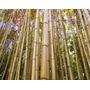 Bambu Vara De Pescar 01 Muda Para Plantio Mais Brinde