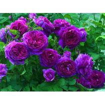 10 Semente De Rosa Lilás Enfeite Seu Jardim Linda Roseira