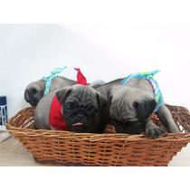 Los Mas!! Adorables Y Encantadores Cachorros Pug