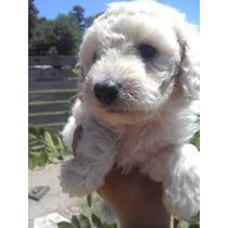 Ultimo Cachorro Caniche Mini Toy Apricot Y Blaco Macho
