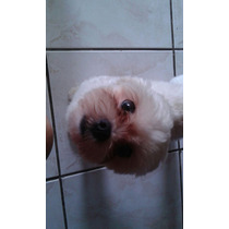 Lhasa Apso Mini29692001 Lindo Machinho P Cruzar