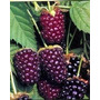 Boysendberrys = Blackberry Plantines Frutos Del Bosque Raros