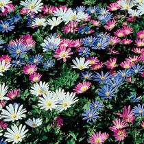 Anemona Blanda En Mezcla De Colores 15 Bulbos
