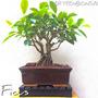 Bonsai Juniperus Variegato Olmo Chino Ficus Olivo N12p