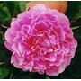 Bulbos De Peonía Flor Gigante: Dos Colores En Stock!! X 1.