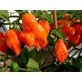 Chile Habanero Naranja Semillas