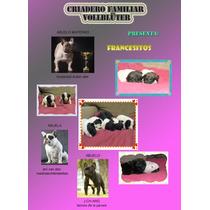 Cachorros Bulldog Frances,sangre Directa,lo Mejor De La Raza