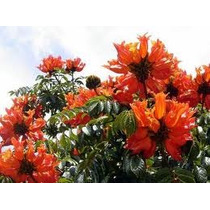 Tulipan Africano 6 Semillas Árbol De Flores Jardín Nmp Sdqro