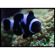 Peixe Palhaço Amphiprion Ocellaris Black 2 A 3 Cm Promoção!