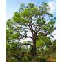 Muda De Pinus Elliotti - Bonsai- Vaso E Madeira