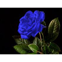 60 Sementes De Rosas Azul Flor Exóticas Pra Fazer Mudas