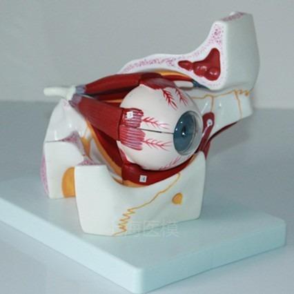 Modelo Anatómico De Ojo Humano/ Para Estudio - U$S 95,00 en Mercado ...