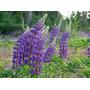 Lupino - Altramuz Flor Semillas Para Plantas + Regalo