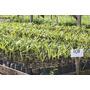 Sementes De Açai Brs E Anão Pronto P/ Plantiu 2,5 Kg+500