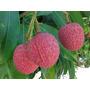 Mudas De Lichia Kwai Mai Pink - Alporquia - Clima Quente