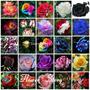 Rosas Japonesas Bonsai 25 Variedades Colores Semillas100