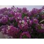 245 Sementes Da Flor Alyssum Violeta Isla Frete Grátis
