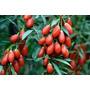 Goji Berry Certificada Para Produção De Mudas 1000 Sementes