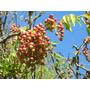 Guaraná, Trepadora Nativa- Floral, Melífera,fruto Decorativo