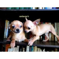 Chihuahua Mini Hembra Un Año Y 4 Meses