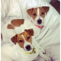 Cachorros Jack Russell Terriers