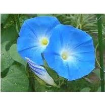 Ipomea Azul Moorning Glory 6 Semillas Flor Jardín Nmp Sdqro