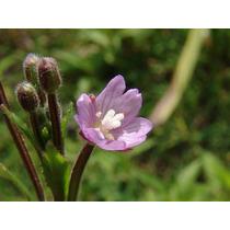 Epilobio - Epilobium Parviflorum 6 Semillas Para Plantas
