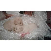 Labradores Bebes!!!