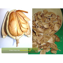 10 Semillas De Swietenia Humilis - Caobilla O Zopilote $39.0