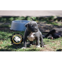 Pitbull Blue Registro Ukc Criadero Age Of Meka